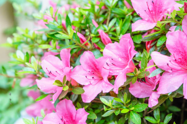 poda de azaleas y rododendros