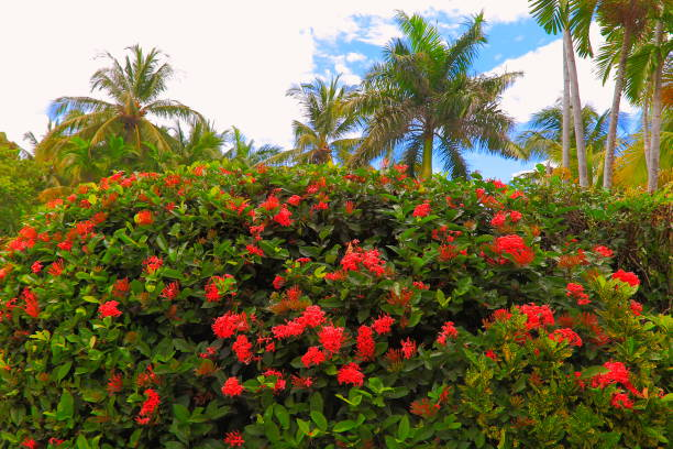 hibiscus poda arbusto