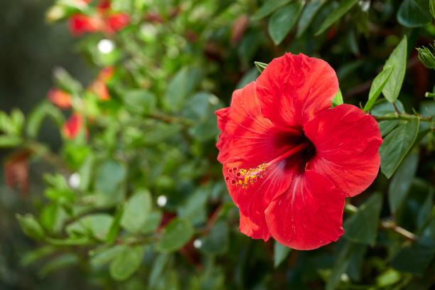 podar arbol hibiscus
