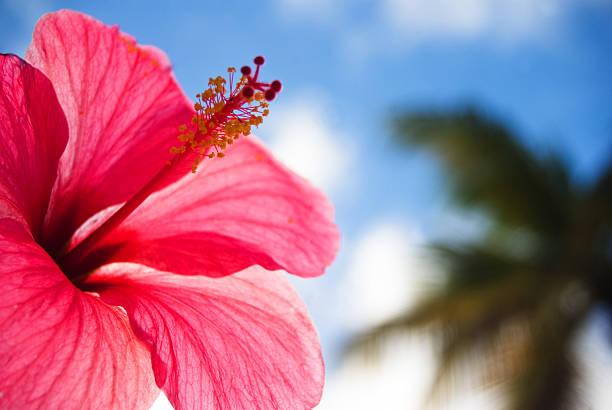 poda hibiscus rosa sinensis