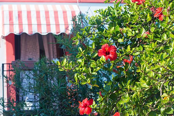 podar hibiscus en flor