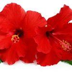 Podar Hibiscus