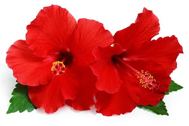 podar hibiscus planta