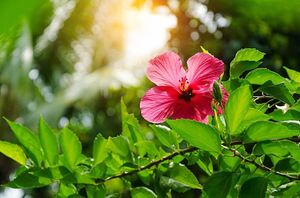 podar hibiscus syriacus