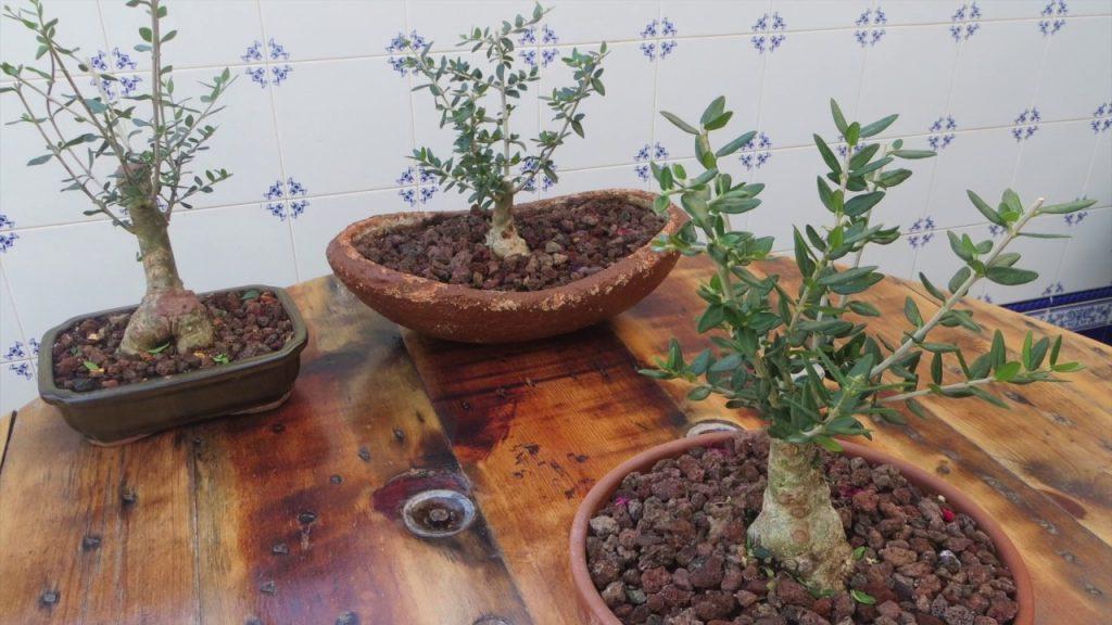 podar olivos viejos