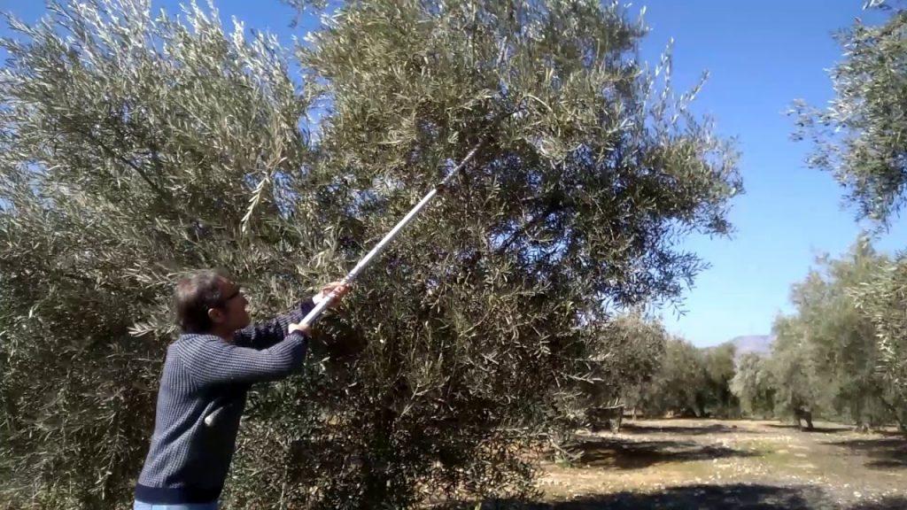 podar olivos centenarios