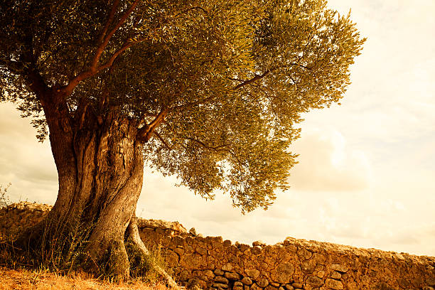 poda olivos alcaudete