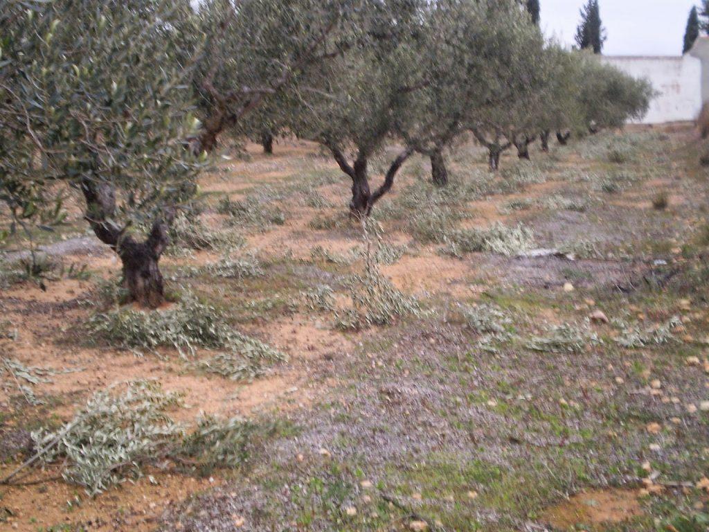 podar olivos ornamentales