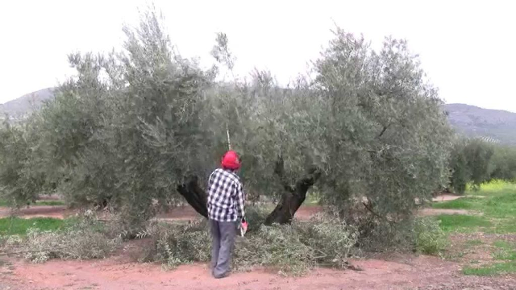 podar olivos abandonados