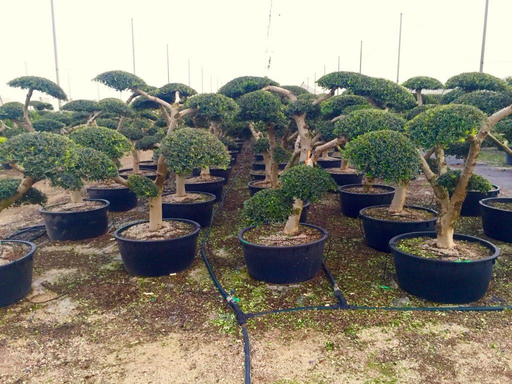 podar olivos decorativos