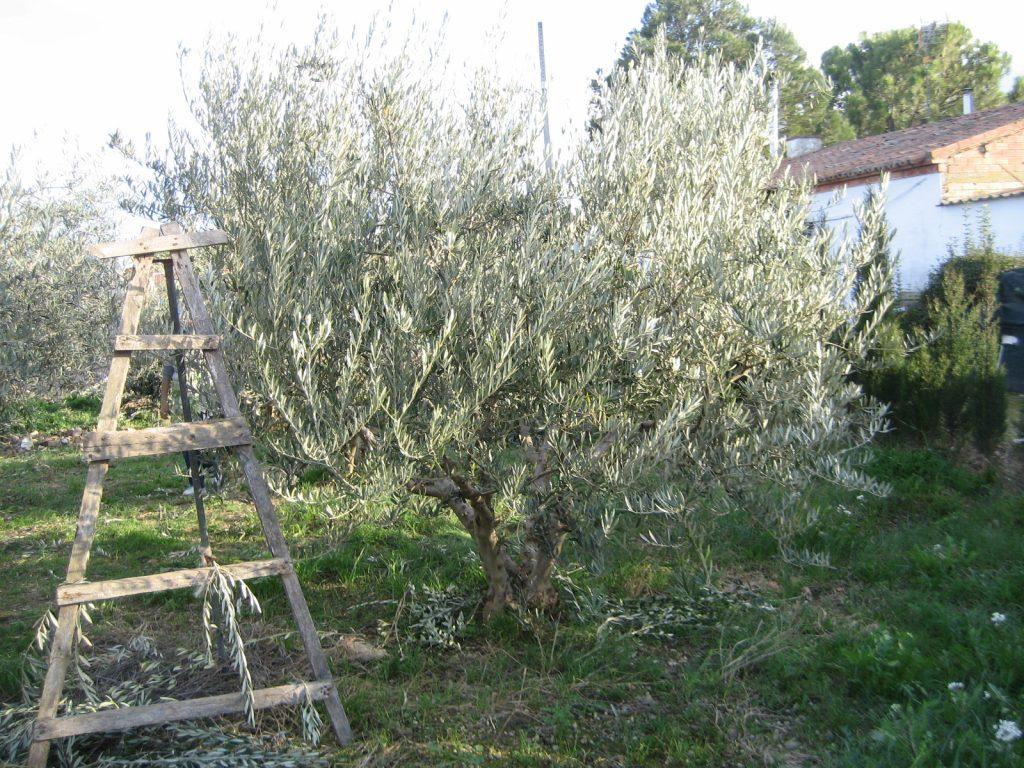 podar olivos en junio