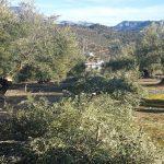Podar olivos