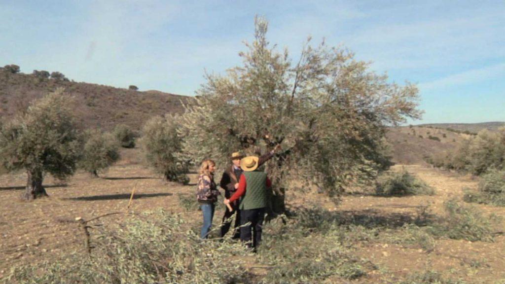 podar olivos en verano