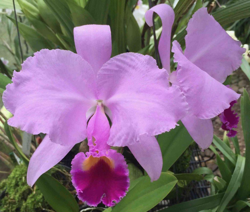 podar orquidea rama seca