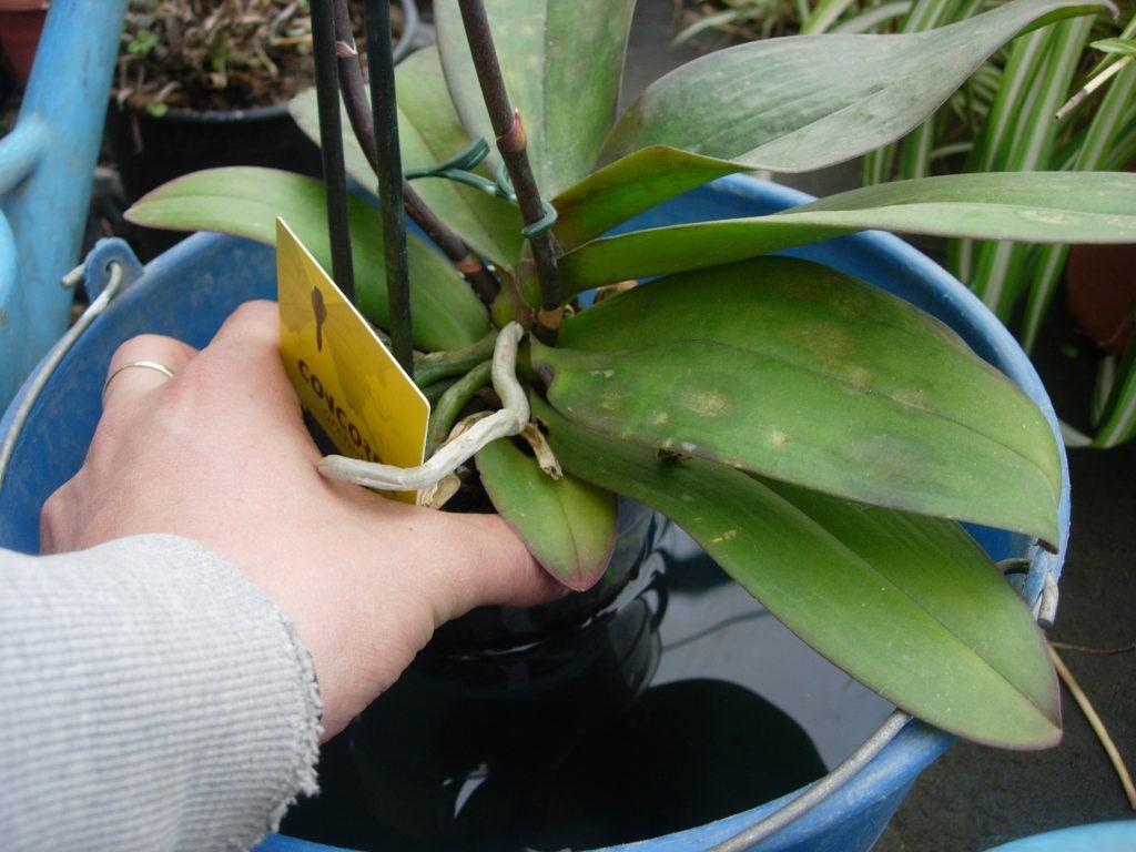 poda orquideas raices