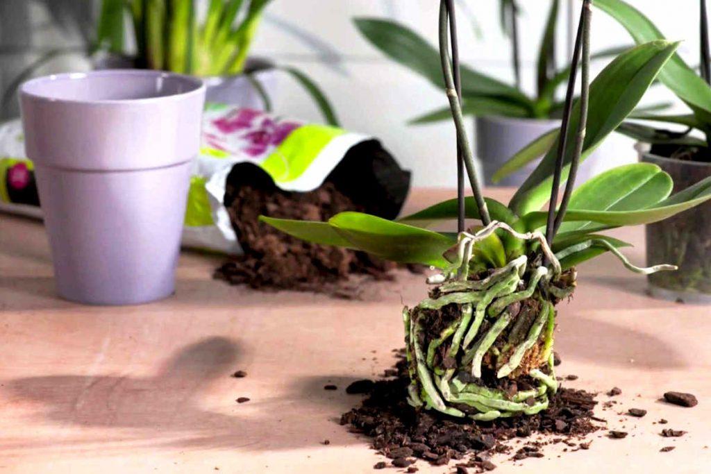 podar orquideas youtube