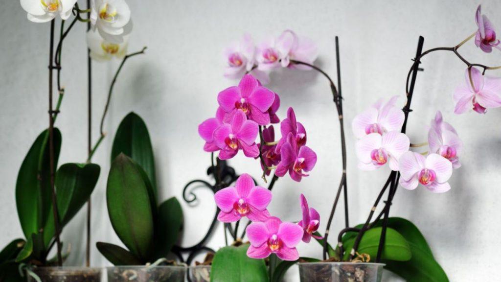 podar orquideas secas