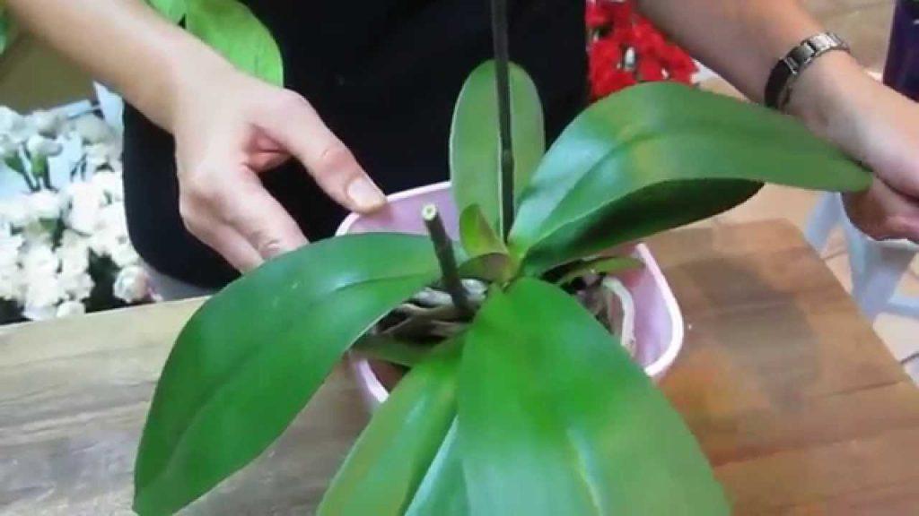 poda orquídeas después floración