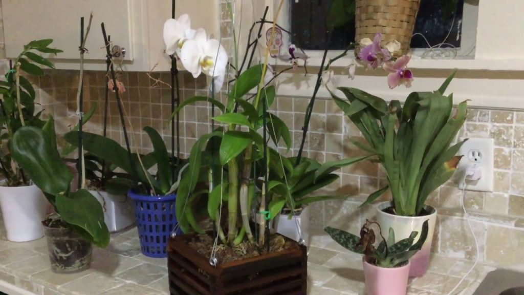 podar orquideas phalaenopsis