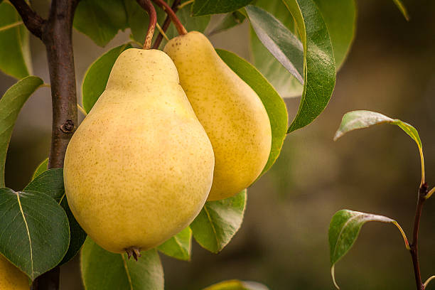 podar perales manzanos