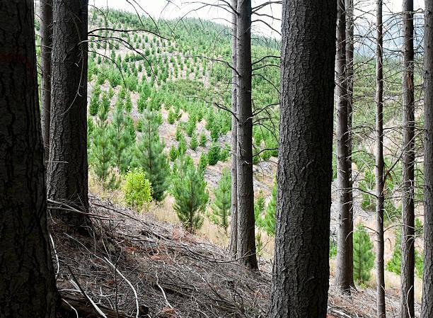 podar pino piñonero