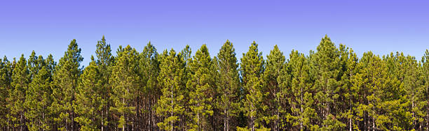 podar pinos en valladolid
