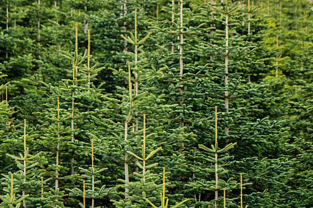 podar pinos en verano