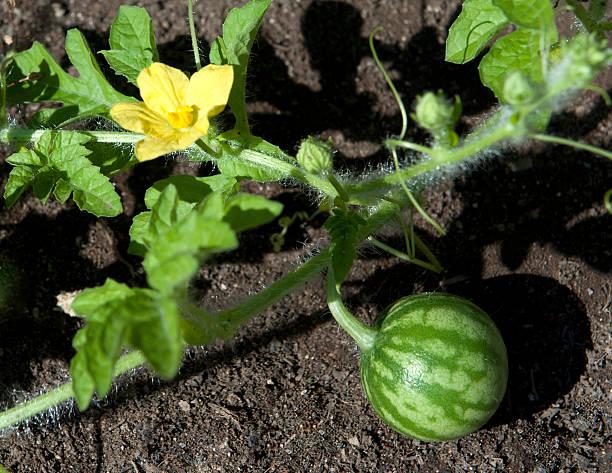 como podar sandias y melones