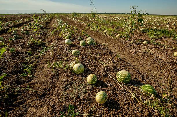 podar sandias y melones