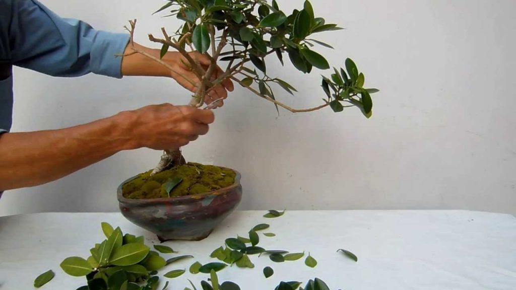 podar bonsai en verano
