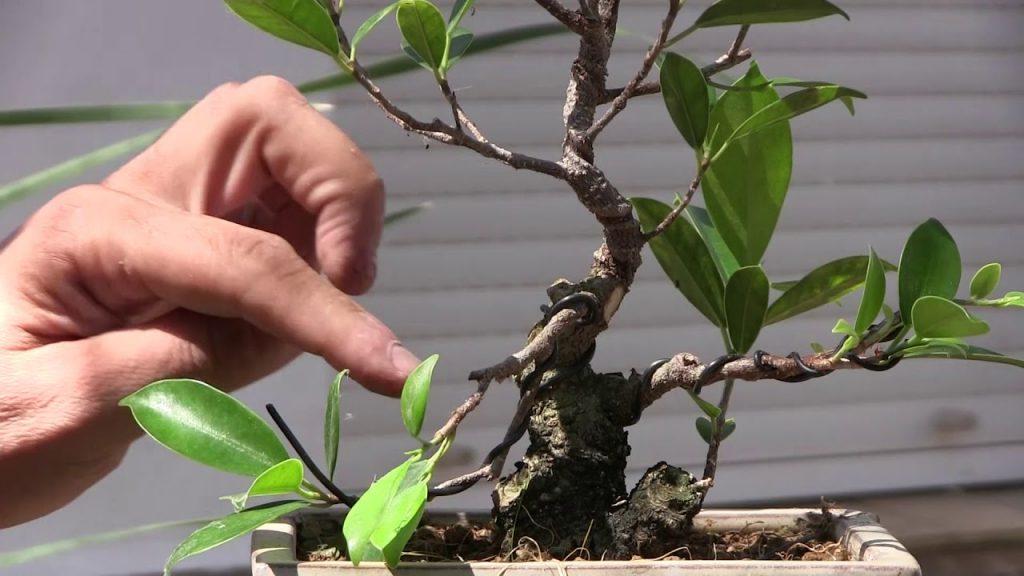podar bonsai carmona