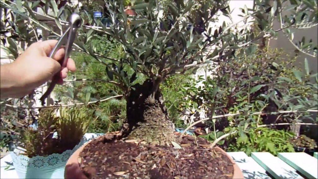 podar bonsai nogal