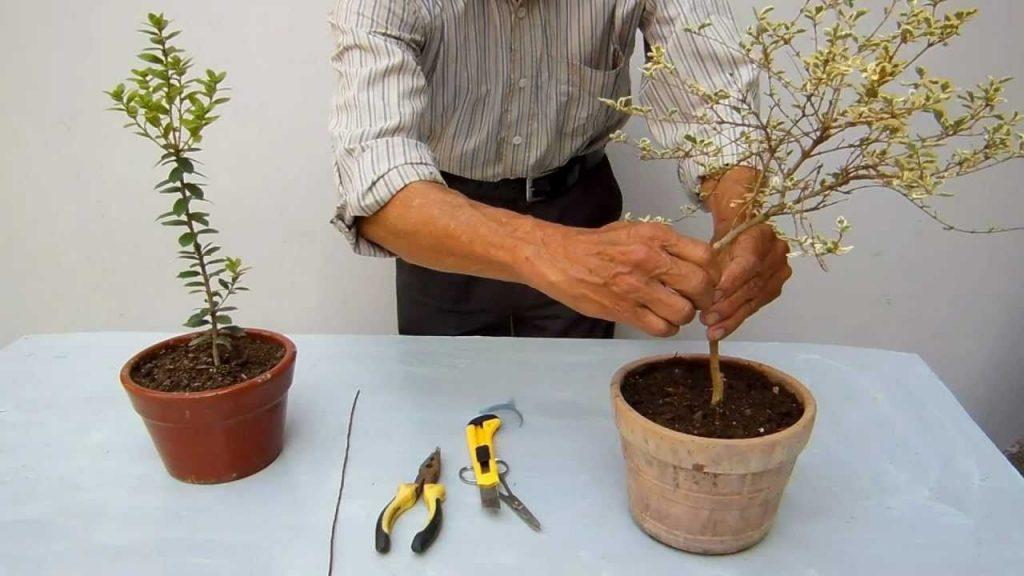 podar bonsai ficus ginseng