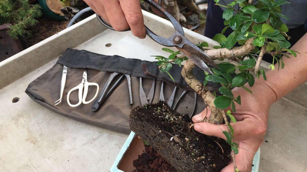podar bonsai seco