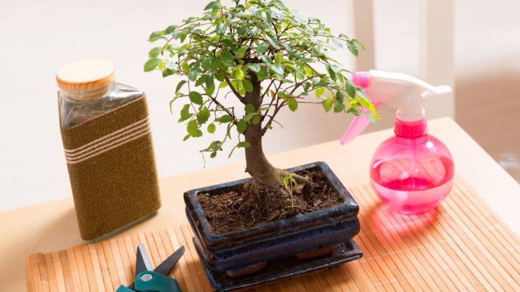 podar bonsai olivo