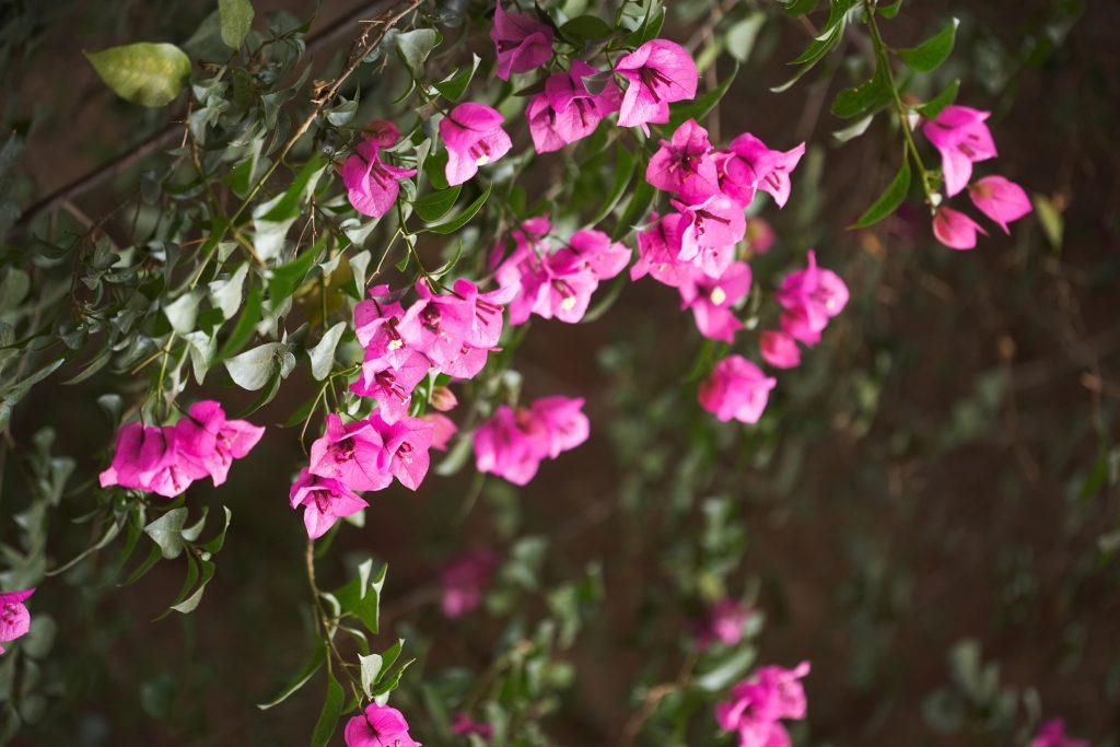 podar buganvilla bonsai
