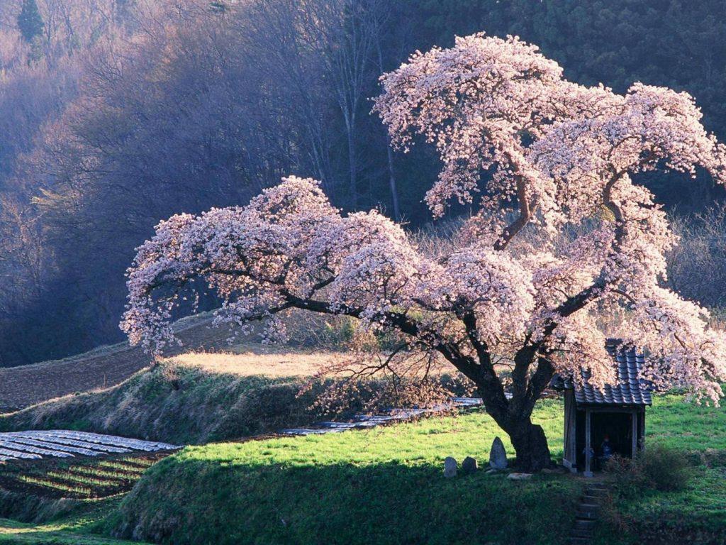podar cerezos en verano