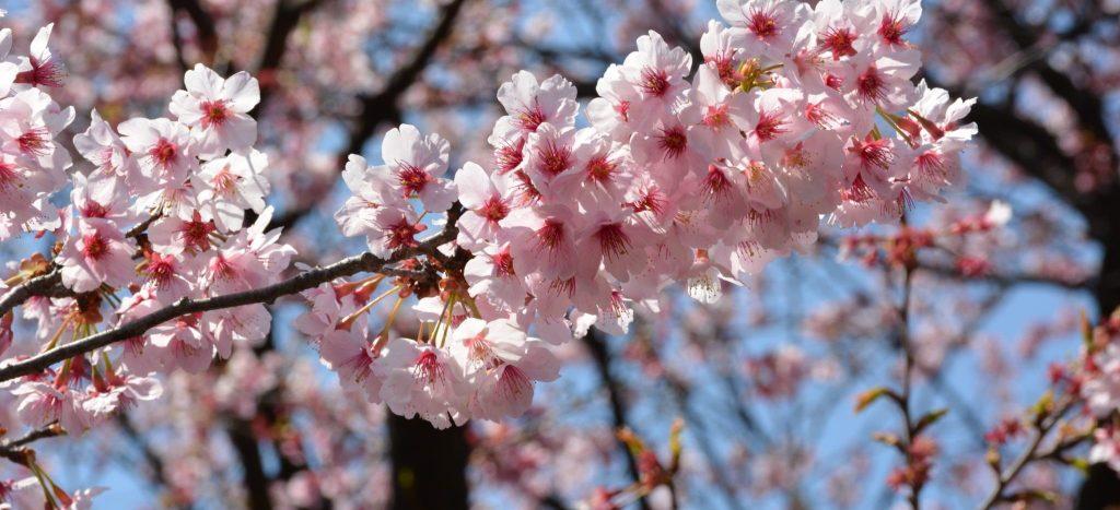 podar cerezo en mayo