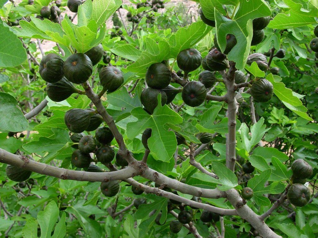 podar higuera bonsai