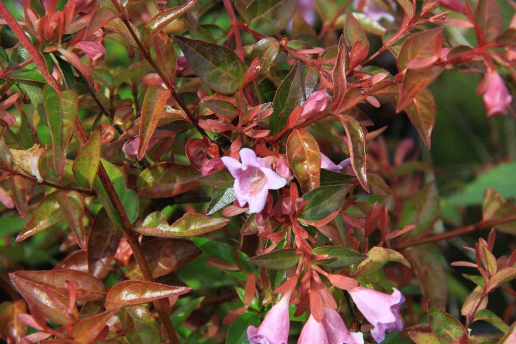 podar hortensias en verano