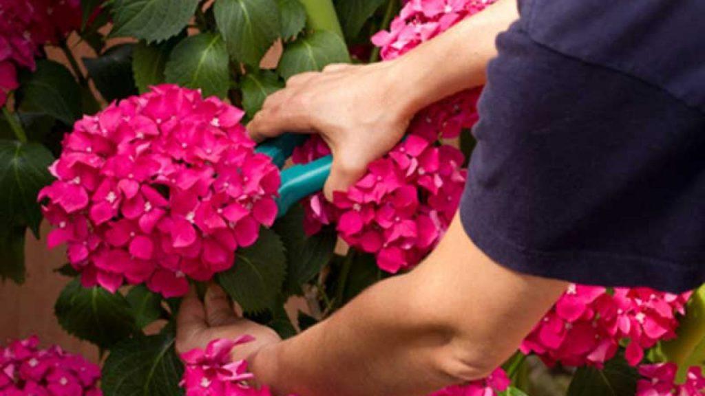 podar hortensias en abril