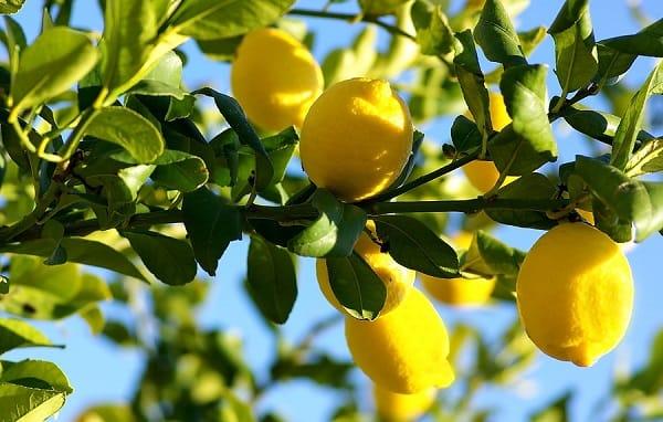 poda agresiva limonero