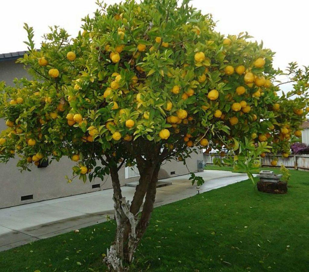 podar limonero enano