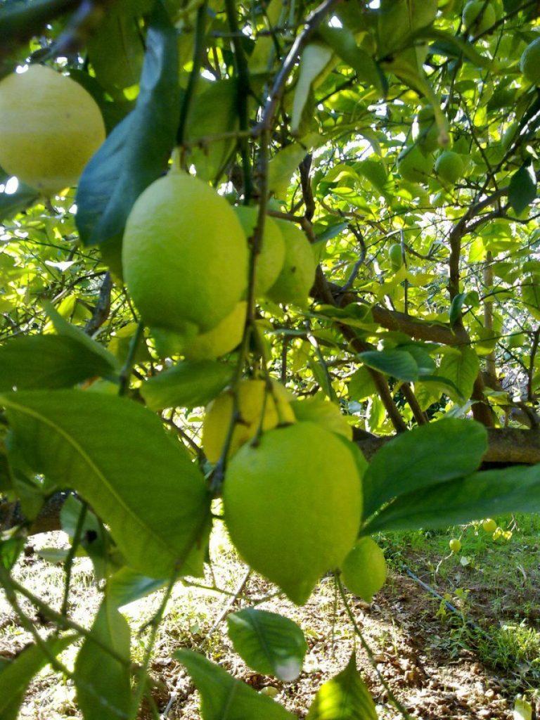 podar limonero en verano