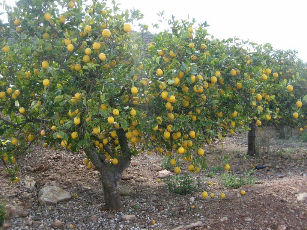 podar limonero abril