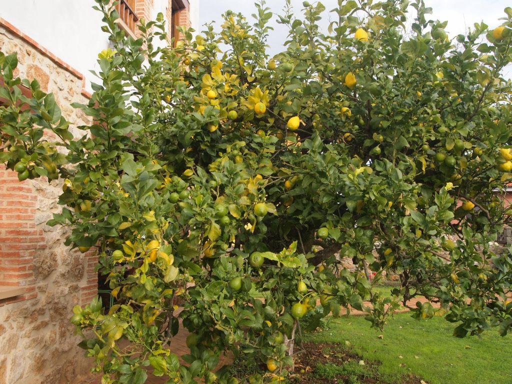 como podar un arbol limonero