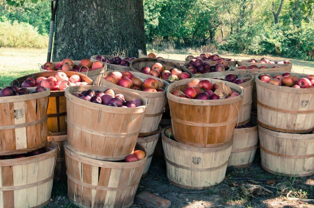 podar manzanos epoca