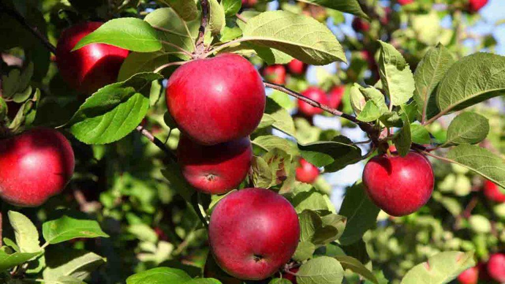podar manzano de 2 años
