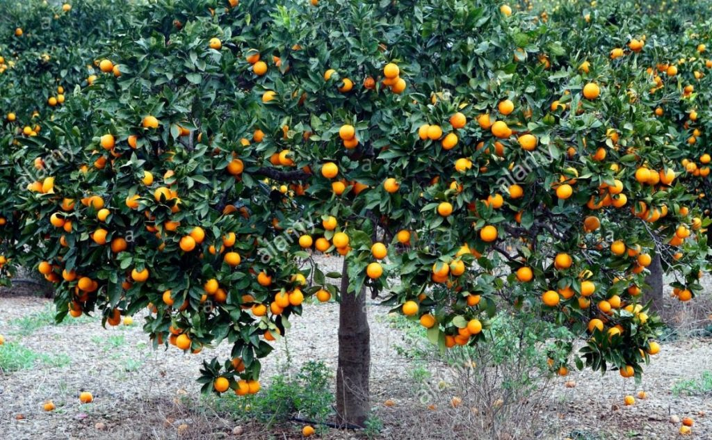 podar naranjos en invierno