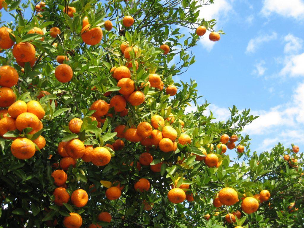 podar naranjos en julio